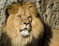 Male lion. Portrait of a beautiful male lion Royalty Free Stock Image