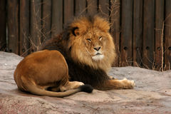 Male Lion. Laying on stone in from of a wooden fence in the Cleveland Zoo stock photography