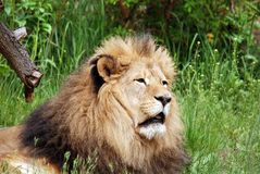 Male lion Arkivfoton