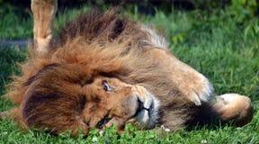 Male lion Arkivbild