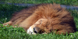 Male lion Arkivfoto