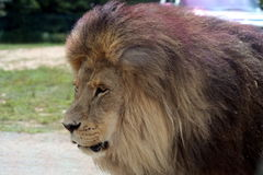 Male lion. Profile picture of a male lion Royalty Free Stock Photos