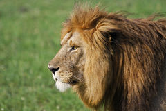 Male Lion. Wild male lion in Singita Grumeti Reserves, Tanzania Stock Photo