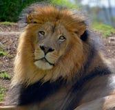 Male lion Fotografering för Bildbyråer