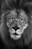 Male lion Arkivfoton
