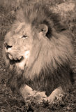 Male lion Royaltyfri Foto