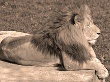 Male lion Arkivbilder