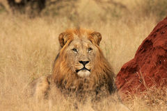 Male lion. A Male lion lying next to a termite mound Royalty Free Stock Photos