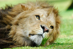 Male lion Royalty Free Stock Photos