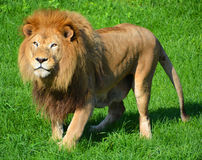Male lion Royaltyfria Bilder