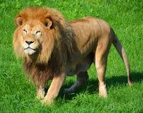Male lion Royaltyfria Bilder