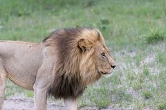 A male lion in the afternoon. He was just waking up, yawning a bit and then started looking for his pride, walking around sniffing the air, marking his Royalty Free Stock Image