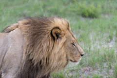 A male lion in the afternoon Royalty Free Stock Images