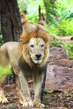 Male Lion in all of his glory Stock Photos
