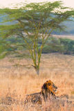Male lion in Amboseli Stock Photos