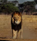 Male lion with attitude Stock Photos