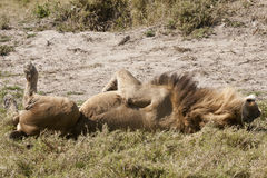 Male Lion on back:  This is the life! Stock Images