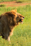 Male lion baring his teeth. Male lion in profile baring his fangs Royalty Free Stock Images