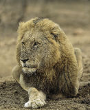 Male Lion. A battled scarred, drooling male lion - King of Beasts Royalty Free Stock Photo