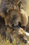 Male Lion biting Lioness on savannah Stock Photography