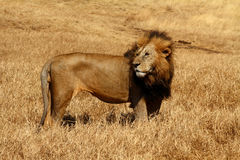 Male Lion Blown by the Wind. Male Lion with large mane stands strong in the savannah while it is blown by the wind royalty free stock photos
