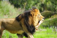 Male Lion with bone Stock Photos