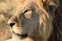 Male lion in Botswana. Male lion resting in morning sunshine in Botswana stock photos