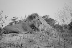 Male Lion in Botswana, Africa. Male Lion in Botswana Africa.   reclining on large ant hill.  Black and white Royalty Free Stock Photos