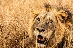 Male Lion on Brown Fields Royalty Free Stock Photography
