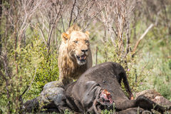Male Lion on a Buffalo kill. Stock Photo