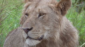 Male lion stock video footage