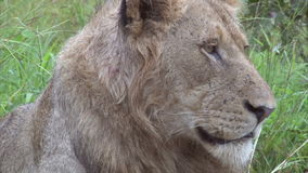 Male lion stock video