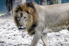 A male lion in captivity Stock Images