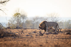 Male Lion that caught a wildebeest Stock Image