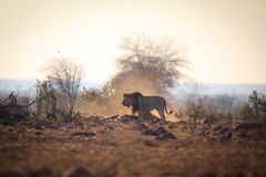 Male Lion that caught a wildebeest Royalty Free Stock Images