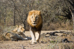 Male lion charging photographer South Africa Stock Photography