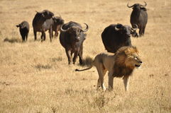 Male lion chased by water buffalos Stock Photos