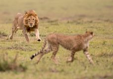 Male lion and cheetah in Masai Mara Game Reserve, Kenya. A male lion chasing a cheetah in a savannah in Maasai Mara Game Reserve, Kenya royalty free stock photography