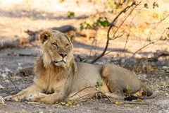 Male lion in chobe national park in botswana at the chobe river. Male lion in chobe national park in botswana at chobe river royalty free stock photos