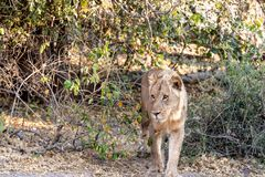 Male lion in chobe national park in botswana at the chobe river. Male lion in chobe national park in botswana at chobe river royalty free stock image