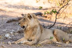 Male lion in chobe national park in botswana at the chobe river. Male lion in chobe national park in botswana at chobe river stock photos