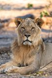 Male lion in chobe national park in botswana at the chobe river. Male lion in chobe national park in botswana at chobe river stock photography