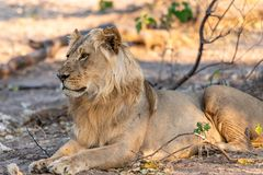 Male lion in chobe national park in botswana at the chobe river. Male lion in chobe national park in botswana at chobe river stock image
