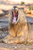 Male lion in chobe national park in botswana at the chobe river. Male lion in chobe national park in botswana at chobe river stock photo