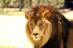 Male Lion Close-up. Close-up of Male Lion Stock Photo