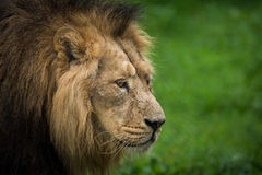 Male Lion Stock Image