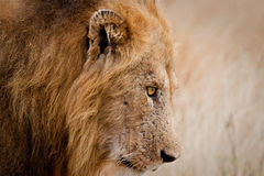 Male Lion Close Up Stock Photography