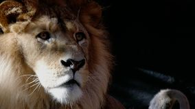 Male lion. Close up of the head of a male lion stock footage