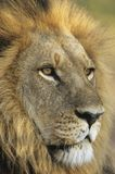 Male Lion close-up of head Stock Photography