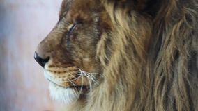 Male Lion stock footage